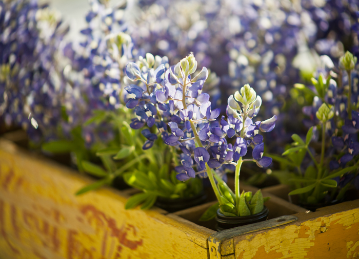 bluebonnets in coke crate