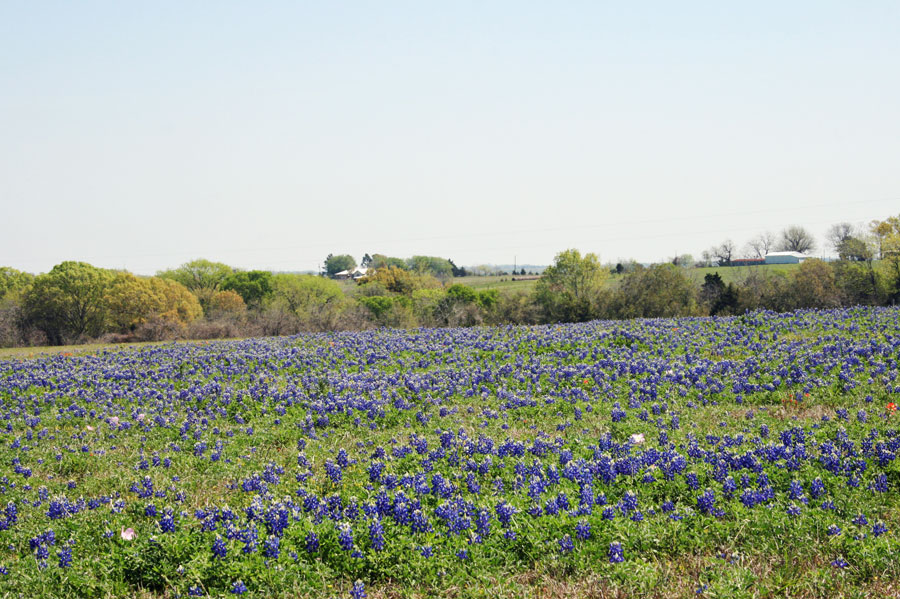 bluebonnet-field
